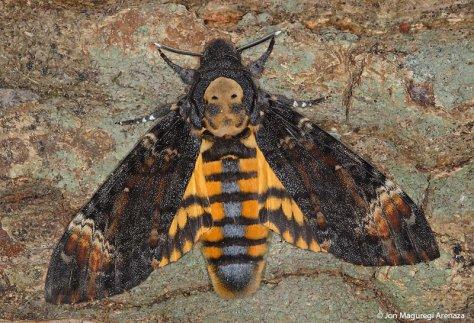 Resultado de imagen de mariposa nocturna mal augurio.